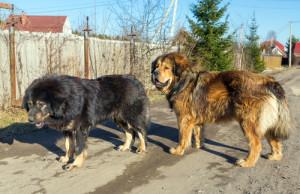 Mastim Tibetano atual. (Foto: Reprodução / The I Love Dogs Site)