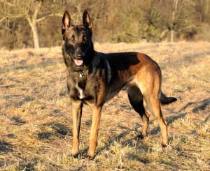 Pastor Belga Malinois atualmente (Foto: Reprodução / The I Love Dogs Site)