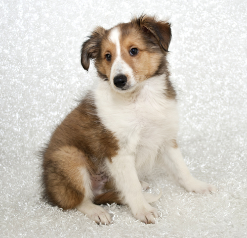 Pastor de Shetland filhote. (Foto: Reprodução / The I Love Dogs Site)
