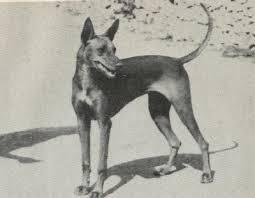 Pharaoh Hound antigo (Foto: Reprodução / The I Love Dogs Site)