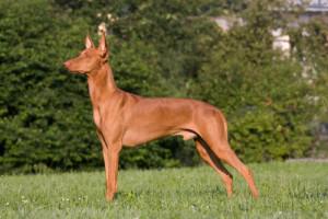 Pharaoh Hound atual (Foto: Reprodução / The I Love Dogs Site)