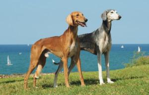 Saluki atual. (Foto: Reprodução / The I Love Dogs Site)