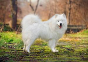 Samoieda atual. (Foto: Reprodução / The I Love Dogs Site)