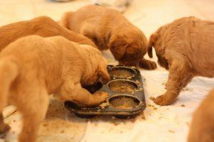 Dicas de alimentação para filhotes. Foto: Reprodução