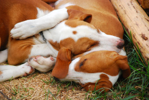 Beagles juntos. (Foto: Reprodução / The I Love Dogs Site)
