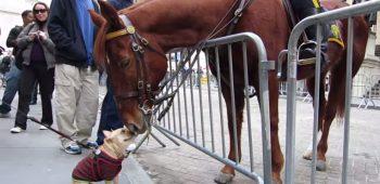 buldogue-frances-cavalo