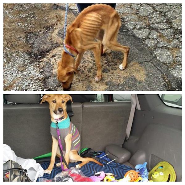 Antes e depois: a foto de cima mostra como a cachorra foi encontrada; na foto debaixo, após 6 dias ela já recuperou 3 quilos. (Fotos: Reprodução / Facebook / Humane Society of Westmoreland County)