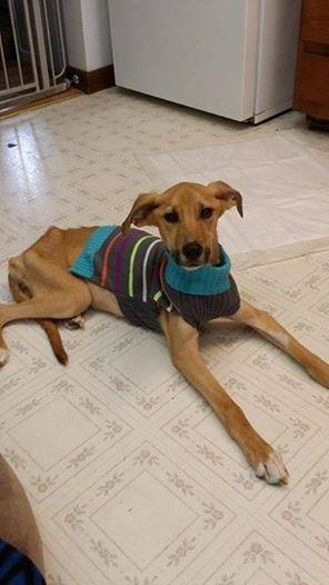 A cachorra Fawna já está se recuperando e depois vai morar em um novo lar. (Foto: Reprodução / Facebook / Humane Society of Westmoreland County)