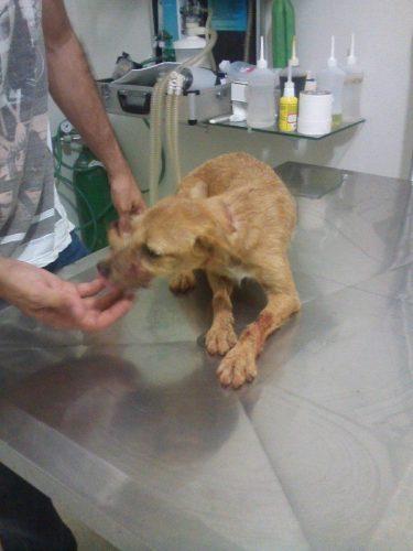 O cachorro sobreviveu após levar dois tiros na cabeça. (Foto: Reprodução / Facebook / Chandelly Protetor)