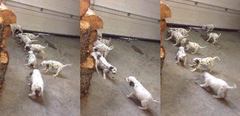 dalmata-cachorro-video