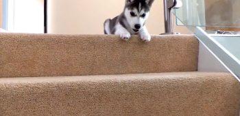 filhote-husky-desafia-escada-primeira-vez