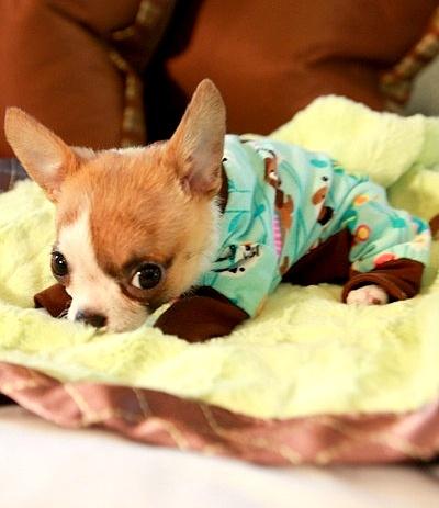 filhotes-cachorros-pijamas (13)