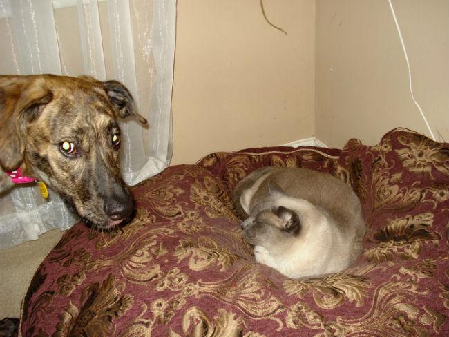 gato-na-cama-de-cachorro-12