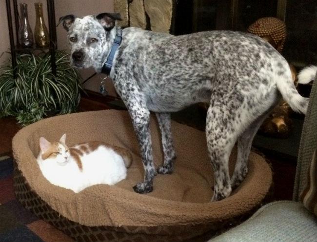 gato-na-cama-de-cachorro-16