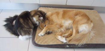 gato-tenta-acordar-golden-retriever