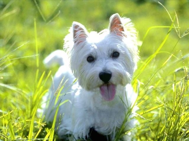 West Highland White Terrier (Foto: Reprodução / Google)