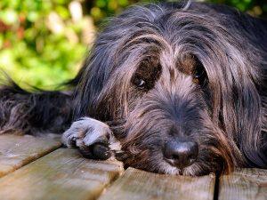 artrite-canina