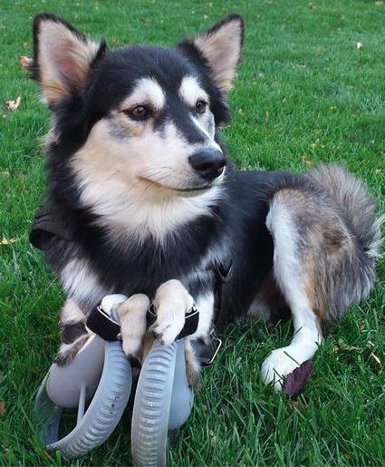 O cão Derby usando próteses feitas em impressora 3D. (Foto: Reprodução / Daily Mail UK)