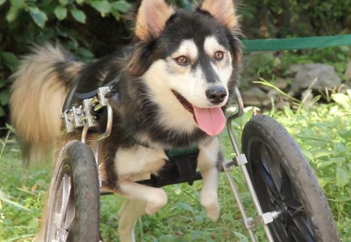 A cadeira de rodas foi a primeira solução para o cachorro. (Foto: Reprodução / Daily Mail UK)