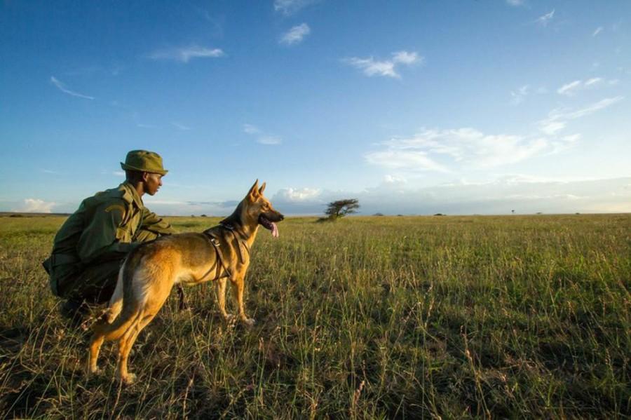 Os cães farejadores e a nobre missão de salvar a vida de elefantes. (Foto: Reprodução / Bark Post)