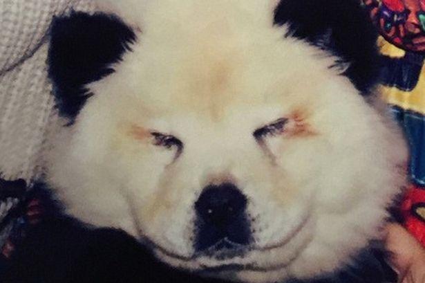 Cachorro da raça Chow Chow tingido para ficar parecido com um panda. (Foto: Reprodução / Mirror)