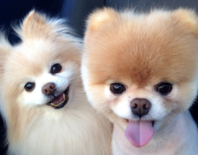 Are Pomchis Good Dogs