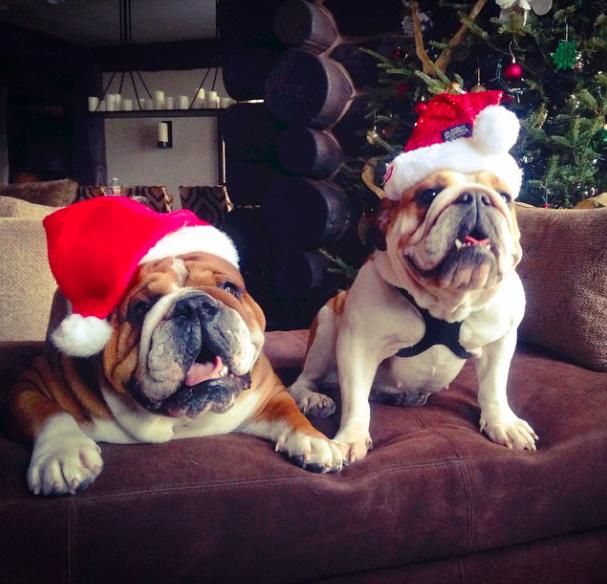 Os buldogues Roscoe e Coco de Lewis Hamilton. (Foto: Reprodução / Instagram)