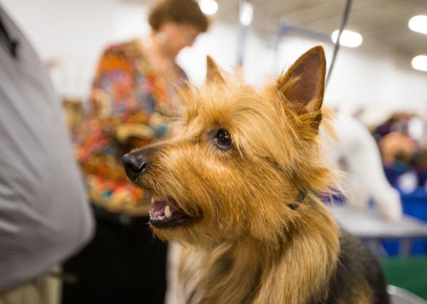 Terrier Australiano. (Foto: Reprodução / NBC Sports)