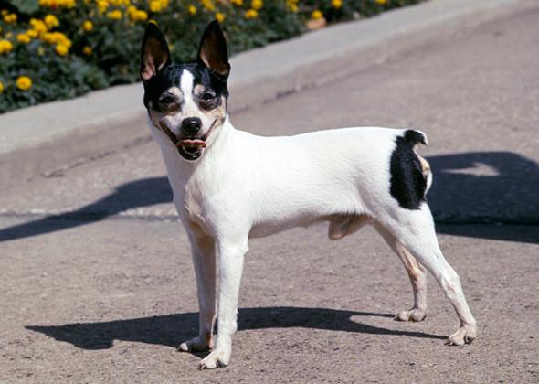 Toy Fox Terrier (Foto: Reprodução / Google)