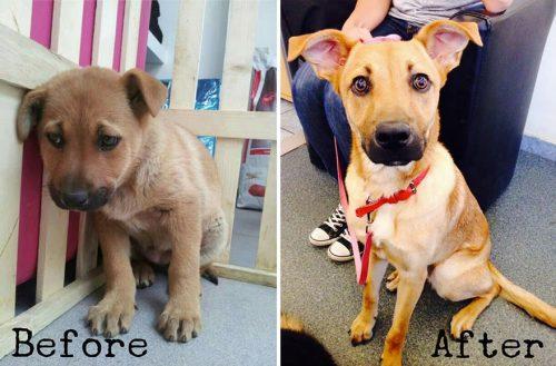 adocao-cachorros-antes-depois-imagens-incriveis-pdd (19)