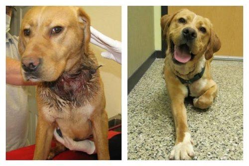 adocao-cachorros-antes-depois-imagens-incriveis-pdd (24)
