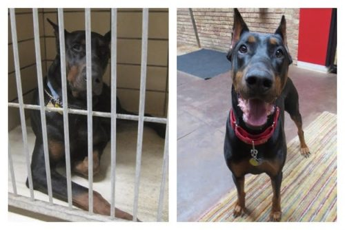 adocao-cachorros-antes-depois-imagens-incriveis-pdd (27)