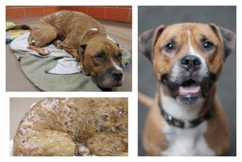 adocao-cachorros-antes-depois-imagens-incriveis-pdd (29)