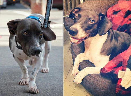 adocao-cachorros-antes-depois-imagens-incriveis-pdd (34)