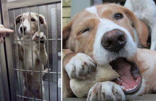 adocao-cachorros-antes-depois-imagens-incriveis-pdd (38)