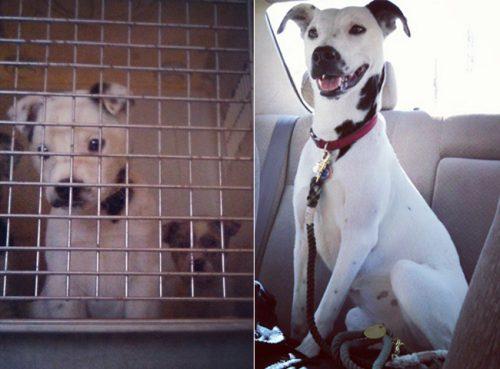 adocao-cachorros-antes-depois-imagens-incriveis-pdd (48)