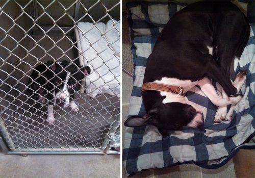 adocao-cachorros-antes-depois-imagens-incriveis-pdd (49)
