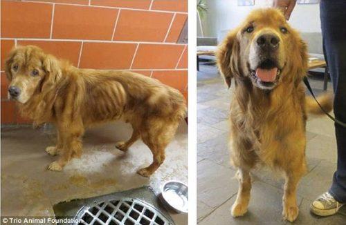adocao-cachorros-antes-depois-imagens-incriveis-pdd (5)