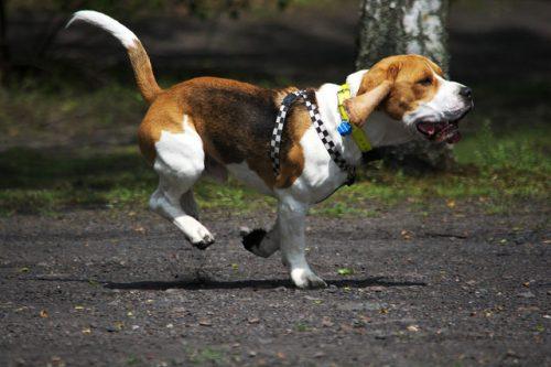 Beagle (Foto: Reprodução / The I Love Dogs Site)