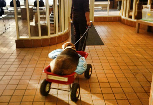 Ele precisou ser transportado com a ajuda de um carrinho. (Foto: Reprodução / Bark Post)