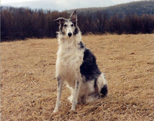 Borzoi (Foto: Reprodução / The I Love Dogs Site)