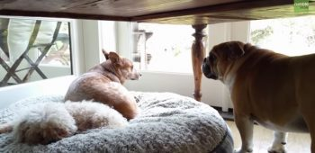 buldogue-ingles-video-choramingo-cama