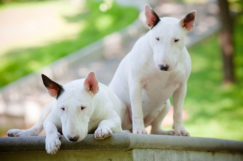 Bull Terrier (Foto: Reprodução / The I Love Dogs Site)