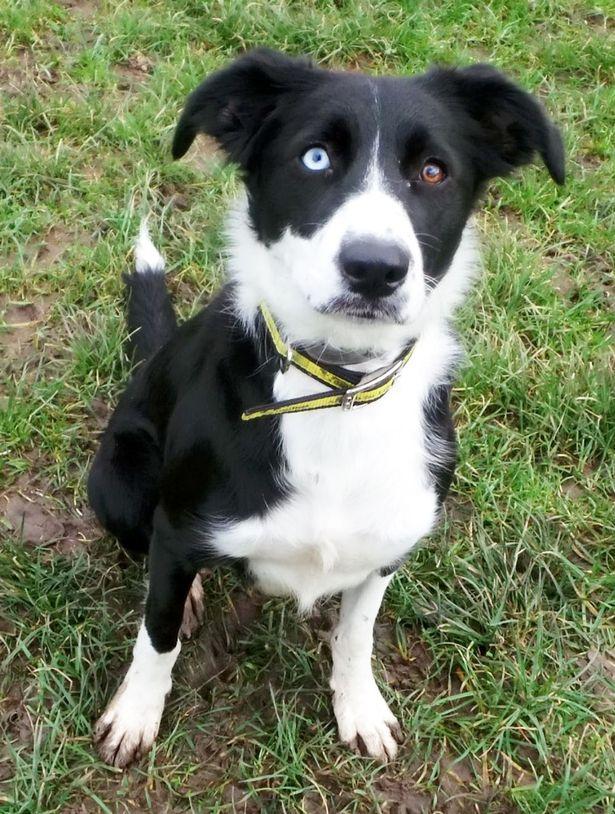 A cachorra Molly tem um olho de cada cor. (Foto: Reprodução / Metro UK)