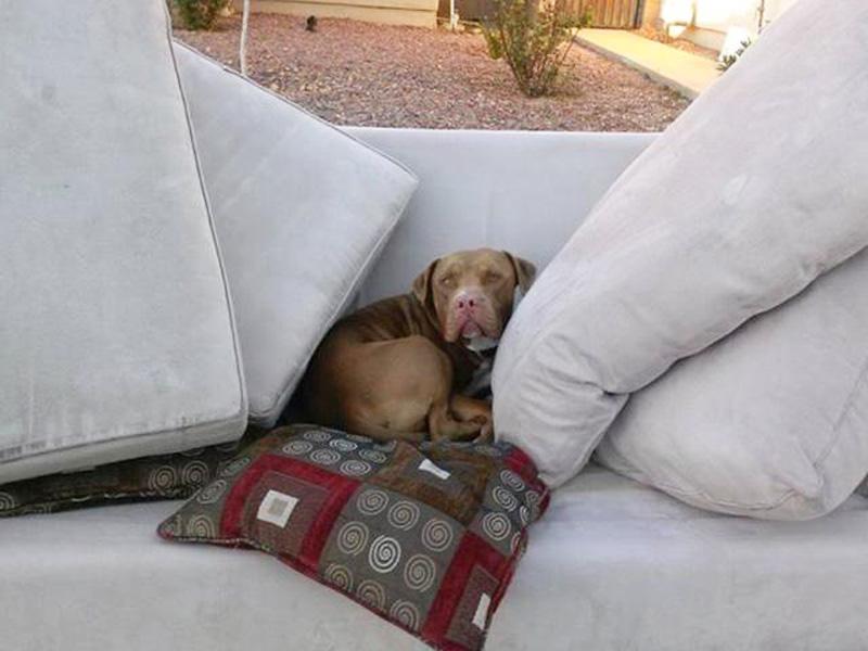 Pit bull abandonado em um sofá na rua. (Foto: Reprodução / People Pets)