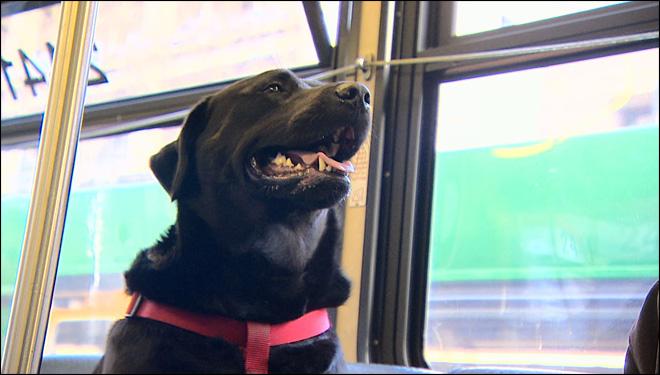 A cadela Eclipe pega ônibus sozinha. (Foto: Reprodução / Komo News)