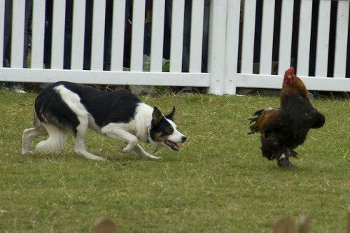 O instinto da caça ao perseguir animais menores. (Foto: Reprodução / Google)