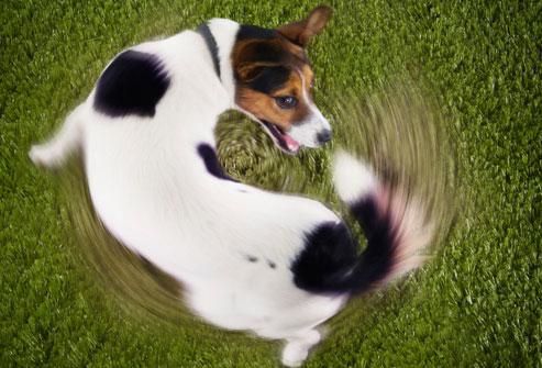 Cão tentando pegar o próprio rabo. (Foto: Reprodução / Google)