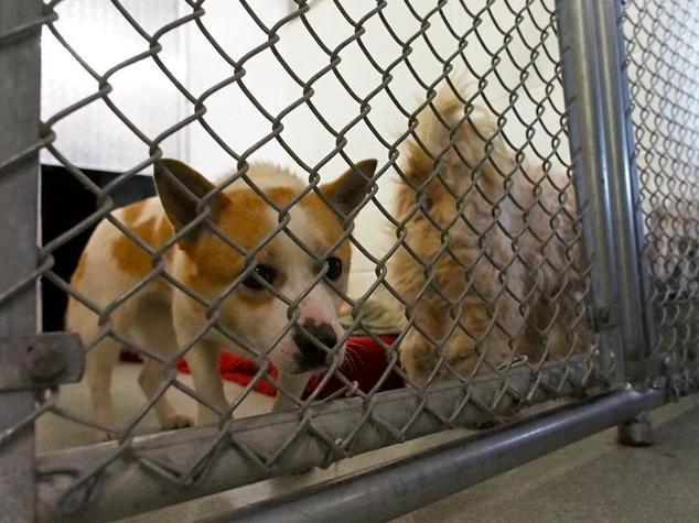 Os cães eram criados para consumo humano na Coreia do Sul. (Foto: Reprodução / Daily Mail UK)