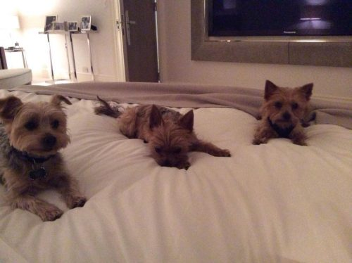 Os três cães de Simon Cowell. (Foto: Reprodução / Twitter)